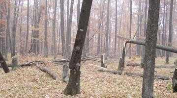 Măcel forestier în pădurea Radu Negru din Călineşti 5