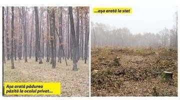 Măcel forestier în pădurea Radu Negru din Călineşti 8