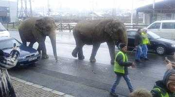 Primarul Călin Andrei taxează și... elefanții 4