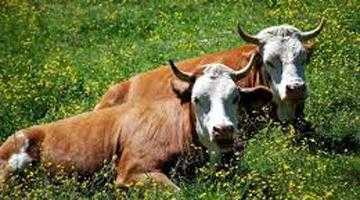 Boala limbii albastre închide târgurile de animale din Argeş 5