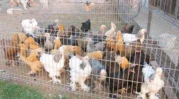 Expoziţie de păsări şi animale de rasă la Mioveni 5