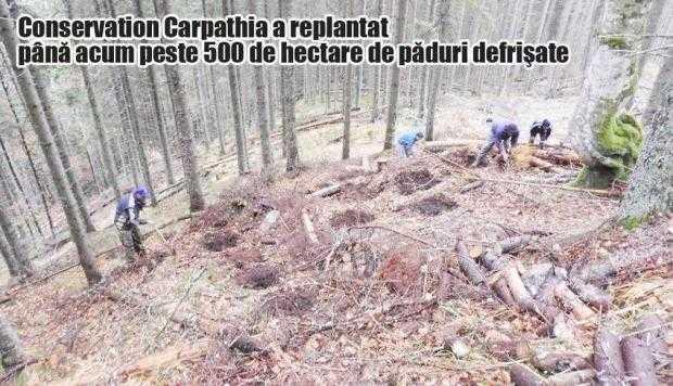 Fundaţia Conservation Carpathia a lansat o campanie pentru reducerea brazilor tăiaţi de Crăciun 6
