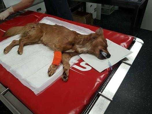 Căţeluşul resuscitat de eroul Mugurel Costache a murit după cinci zile de spitalizare 6