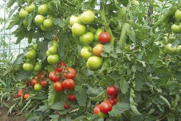 producatori tomate