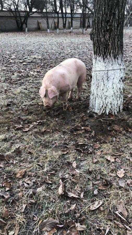 Porcul platit de Valeca si trimis ieri la Golesti