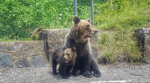 ursoaica pui