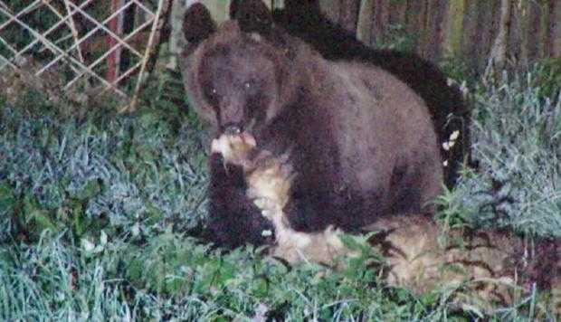 Câmpulungul a ajuns stână fără câini,  după ce urşii au ieşit din cătarea autorităţilor 5