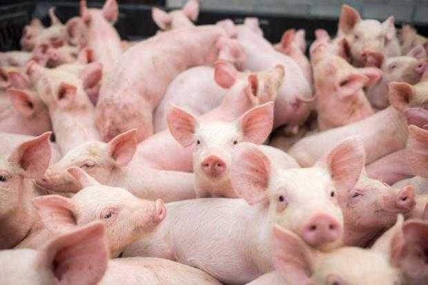 Suspiciunea de pestă porcină la Stoenești, infirmată 5