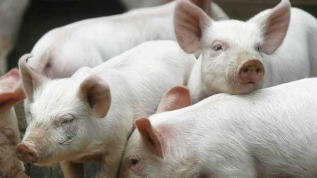 Focar nou de Pestă Porcină în Argeș 5
