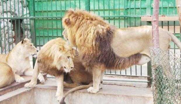 La Zoo Piteşti au fost aduse trei feline 4