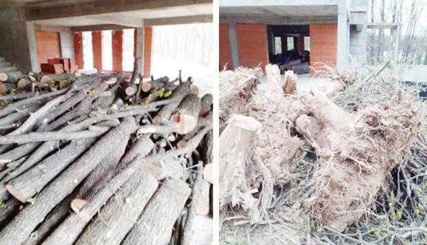 Continuă defrişarea Pădurii Trivale. Dosar penal la Primăria Moşoaia pentru abuz în serviciu şi reducerea fondului forestier naţional 6