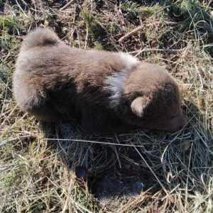 Ursuleț nou născut, salvat de muncitorii forestieri și de pădurarii Ocolului Silvic Păpușa Rucăr 3
